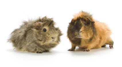 Breeding Guinea Pigs