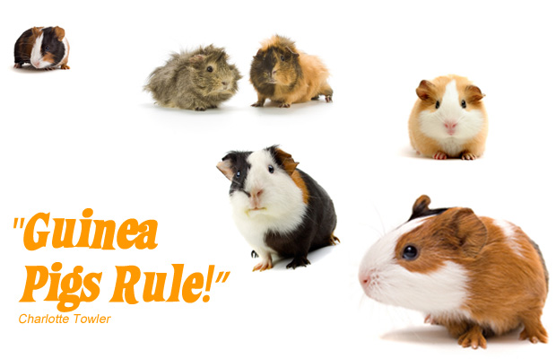 Pictures of cute guinea pigs